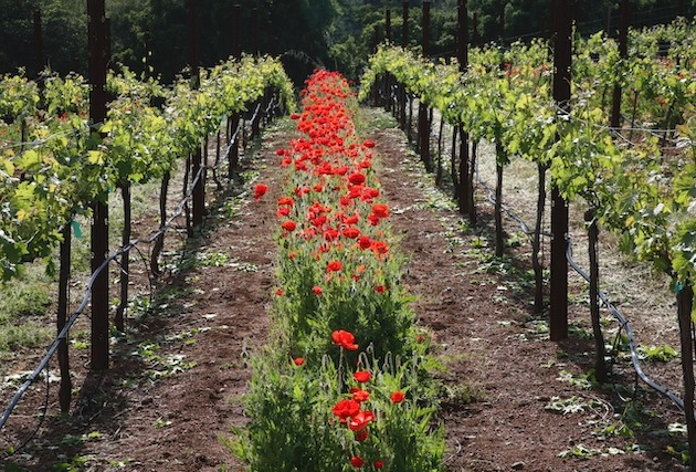 The vineyard in the spring with red poppies between the rows